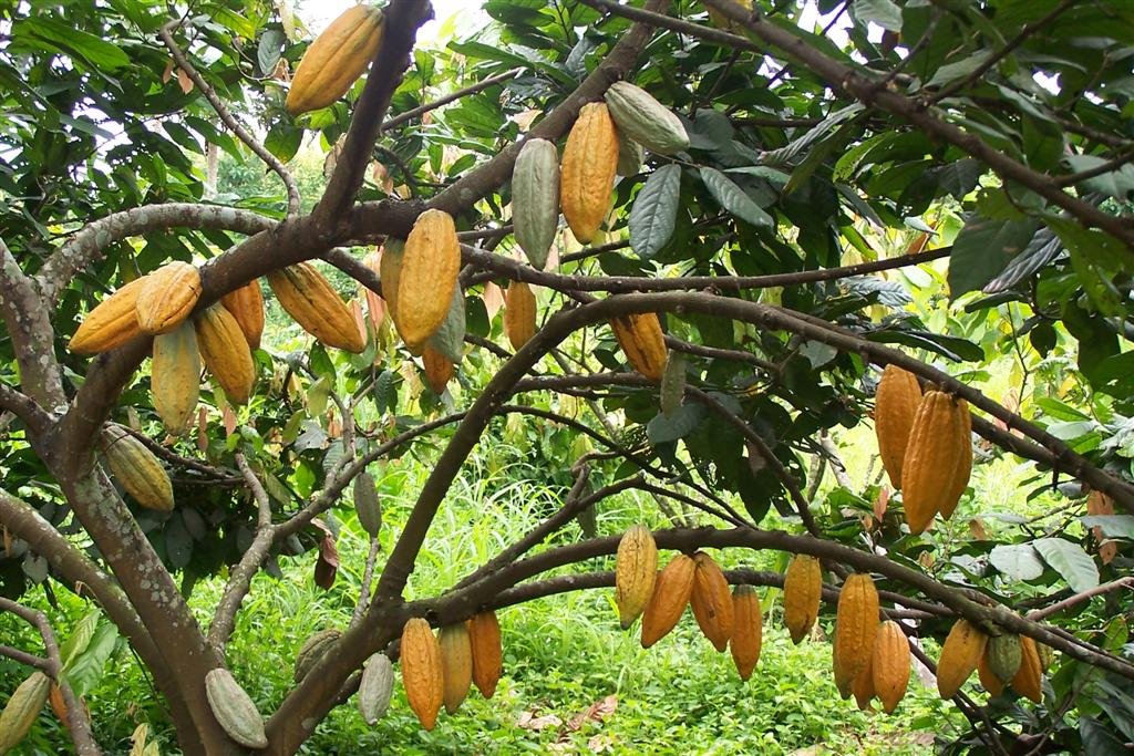 Plantación de cacao en Puerto Bolívar