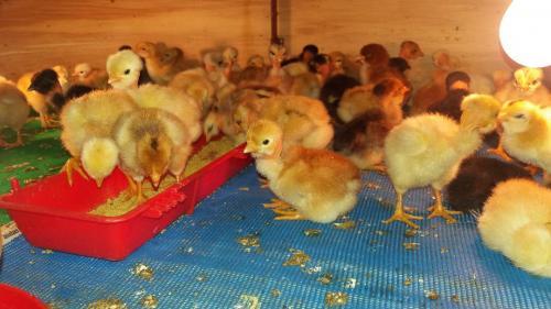 Visita establecimiento pollos criollos
